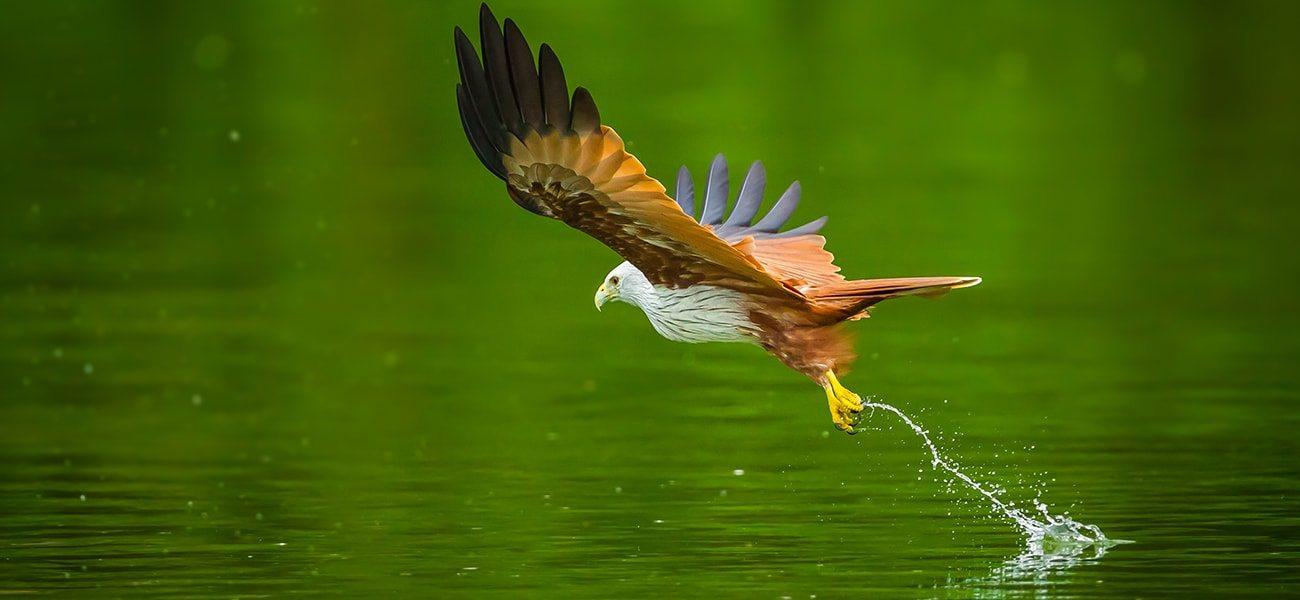 Brahminy Kite, Australia