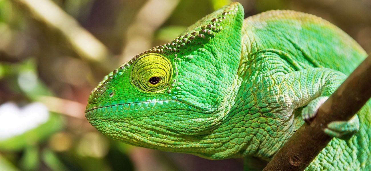 Chameleon, Africa
