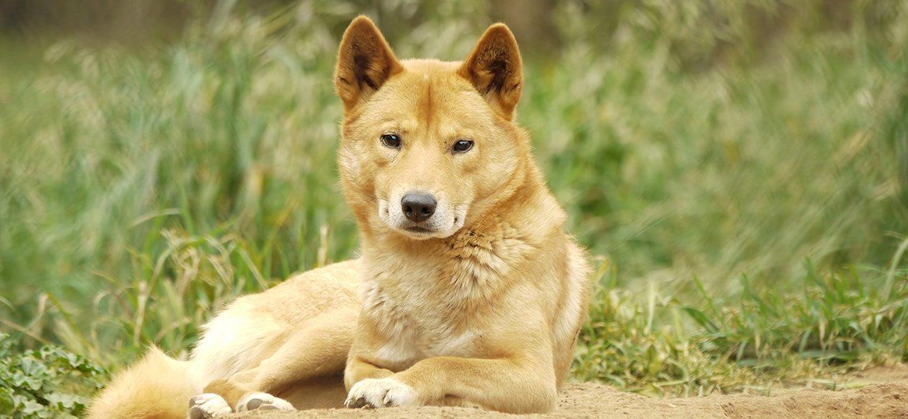 Dingoe, Australia