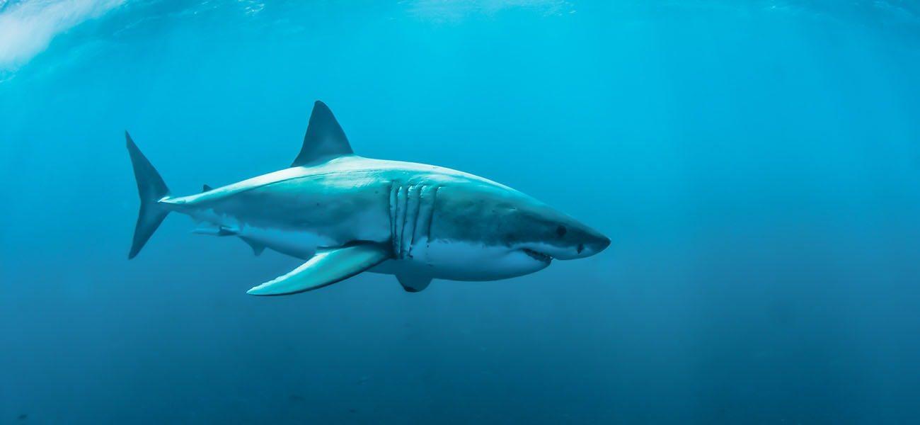 Great White Shark, Africa