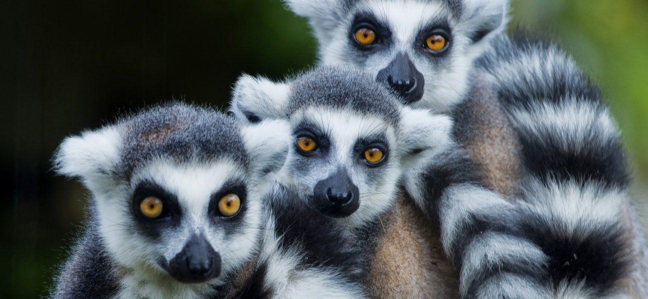 Lemur, Indian Ocean
