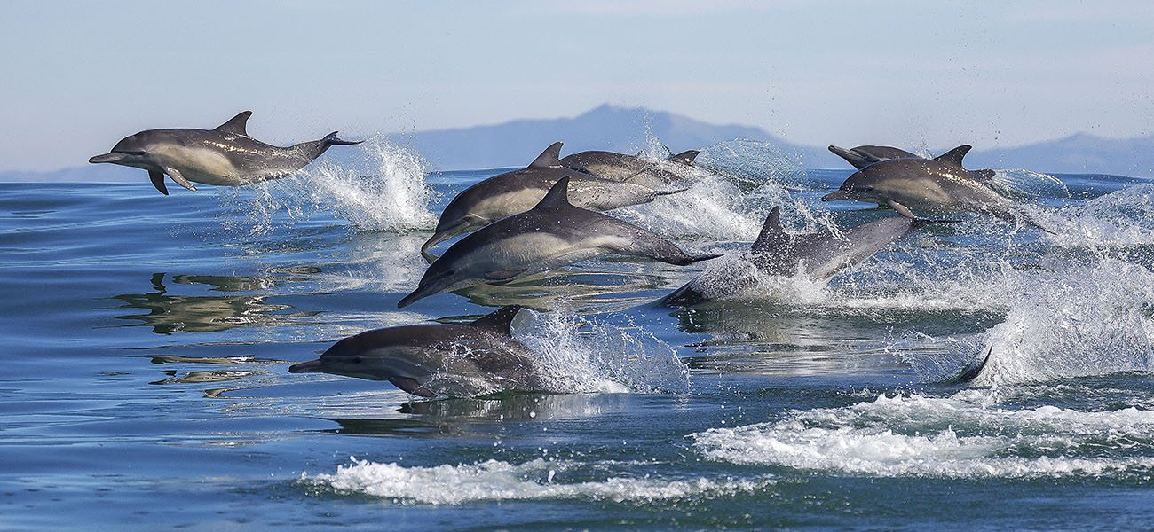 Long Beaked Common Dolphins, Hebrides