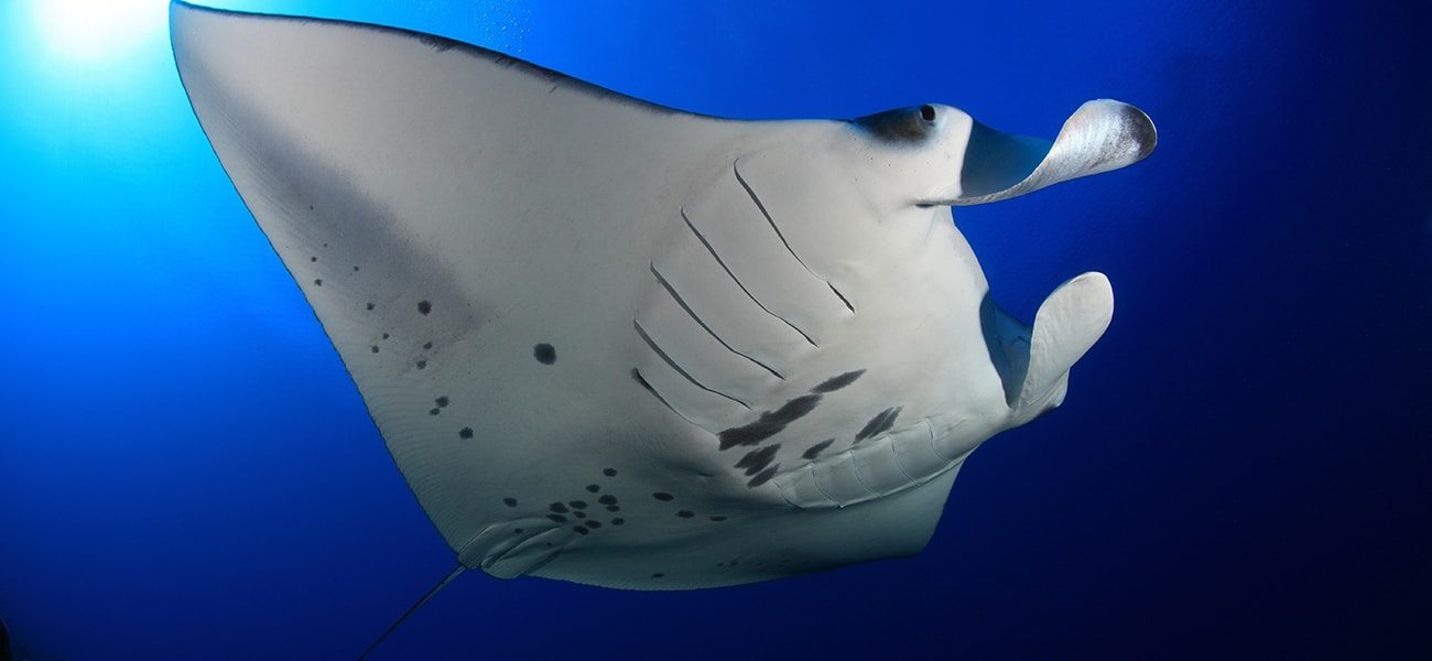 Manta Ray, Indian Ocean