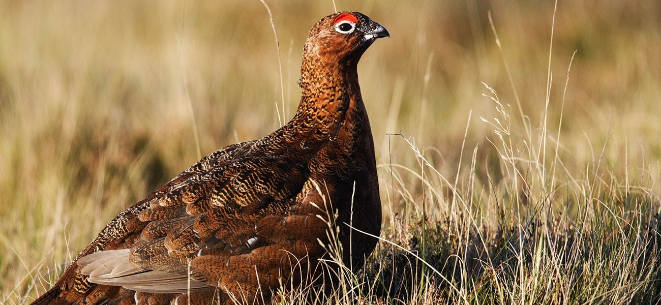 Red Grouse, Hebrides