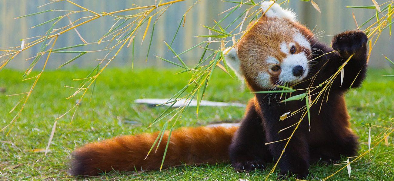 Red Panda, Asia