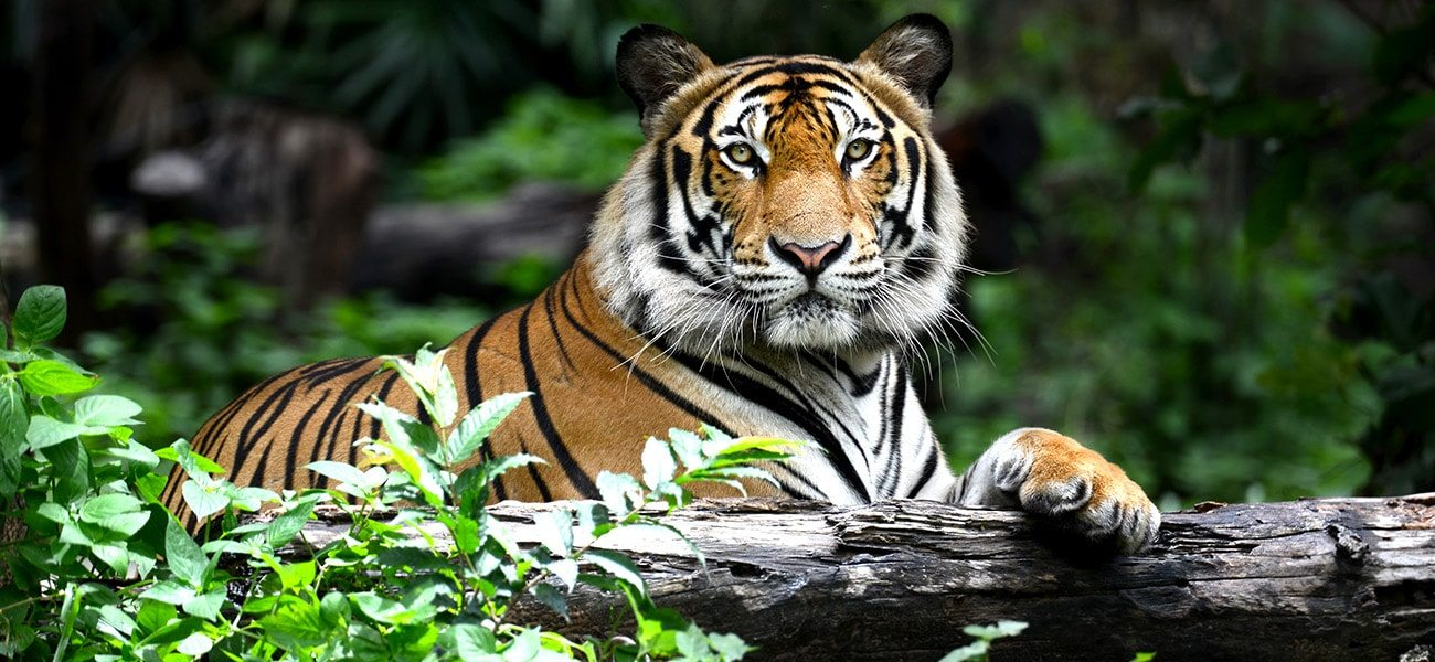 Tiger, Asia