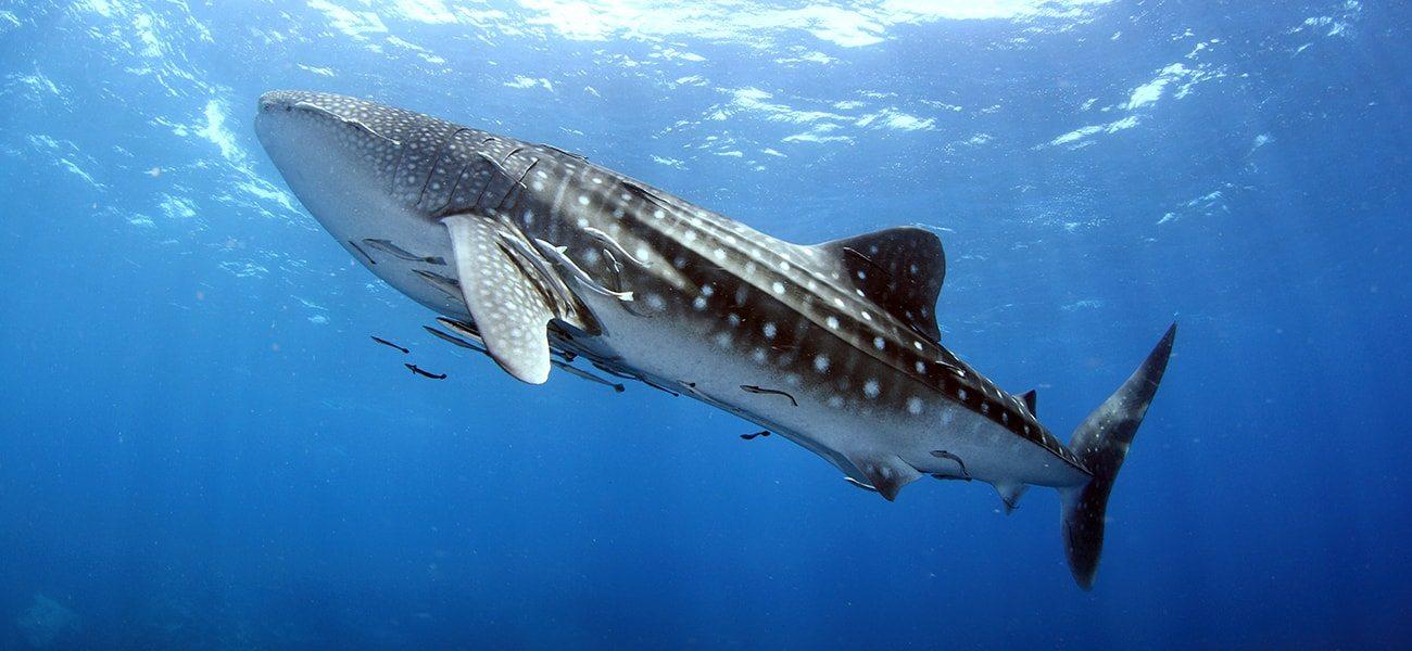 Whale Shark, Indian Ocean