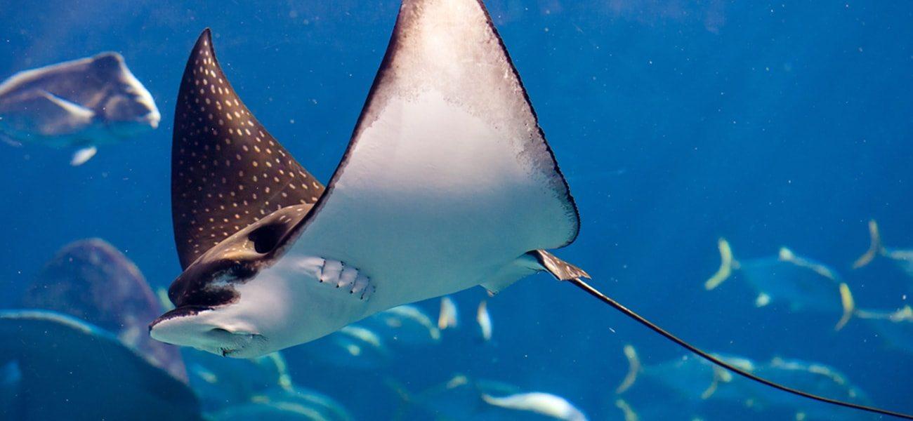 Manta Ray, South Pacific