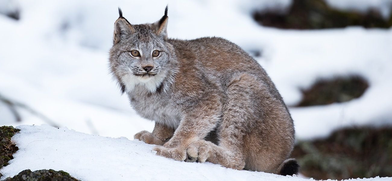 Canadian Lynx, Great Lakes Wildlife